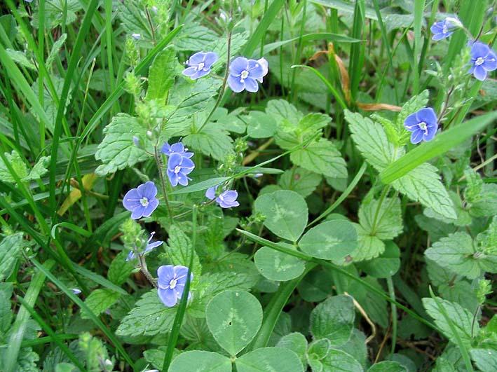 fleur bleues de la véronique des champs