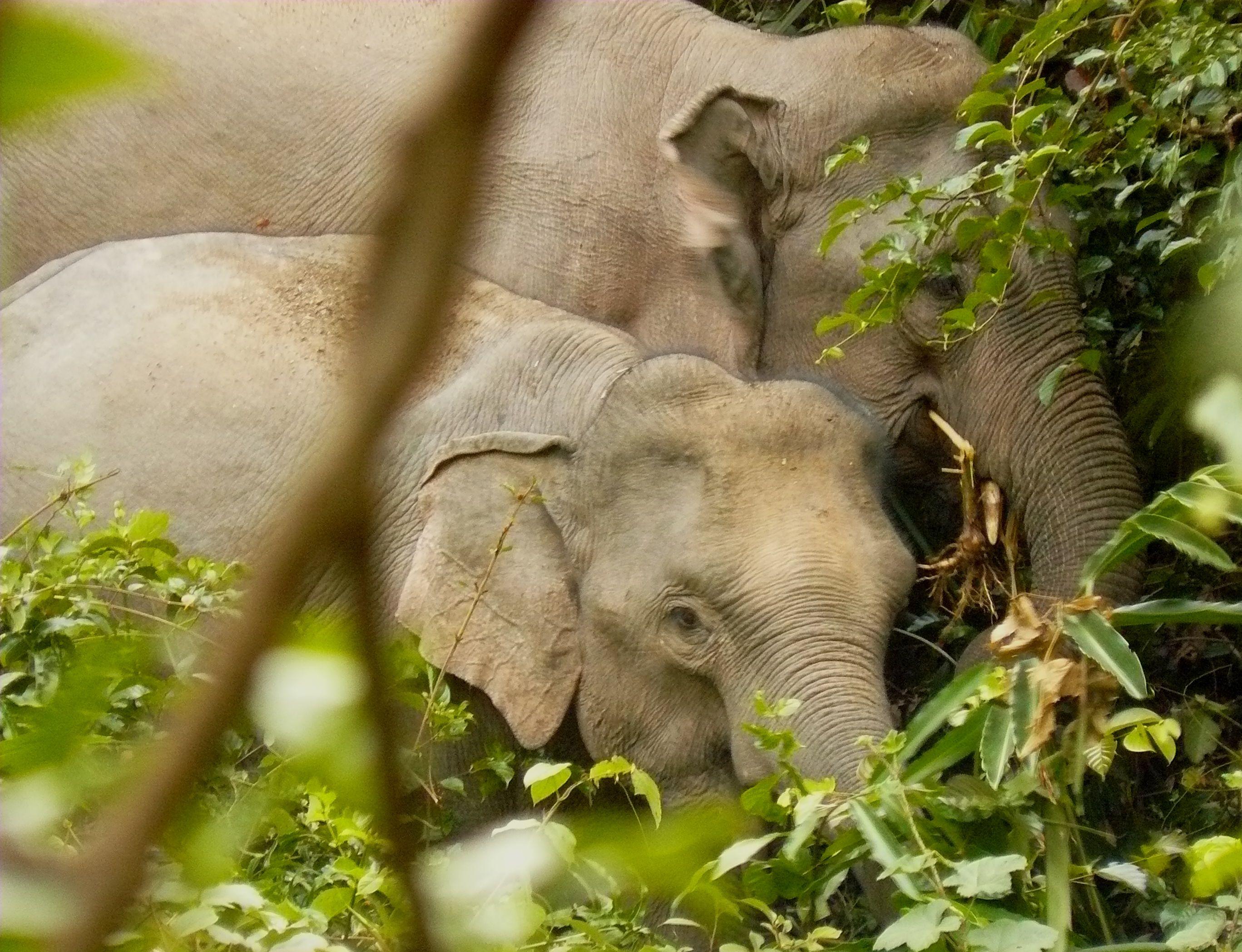 File:Wild Asian elephants at Khao Yai NP.JPG - Wikimedia Commons