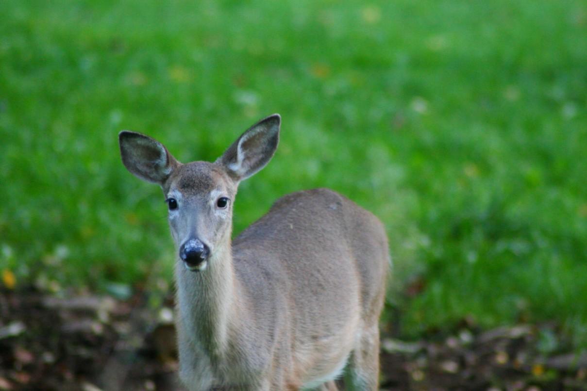 File Yearling Whitetail Deer West Virginia