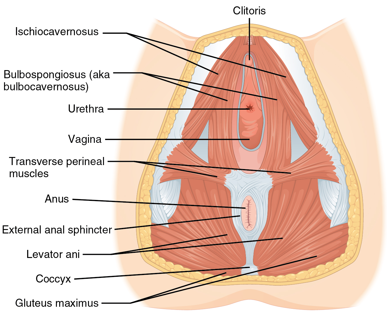 Urogenital triangle - Wikipedia
