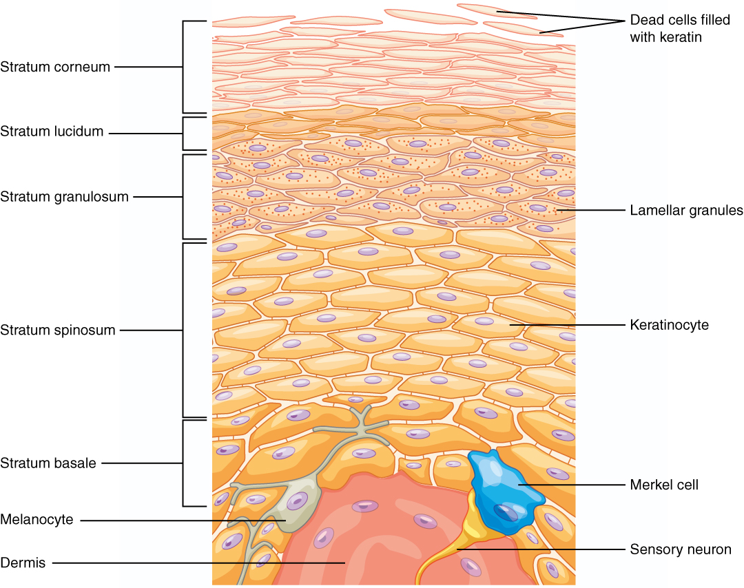 The different layers of our epidermis (image from wikipedia)