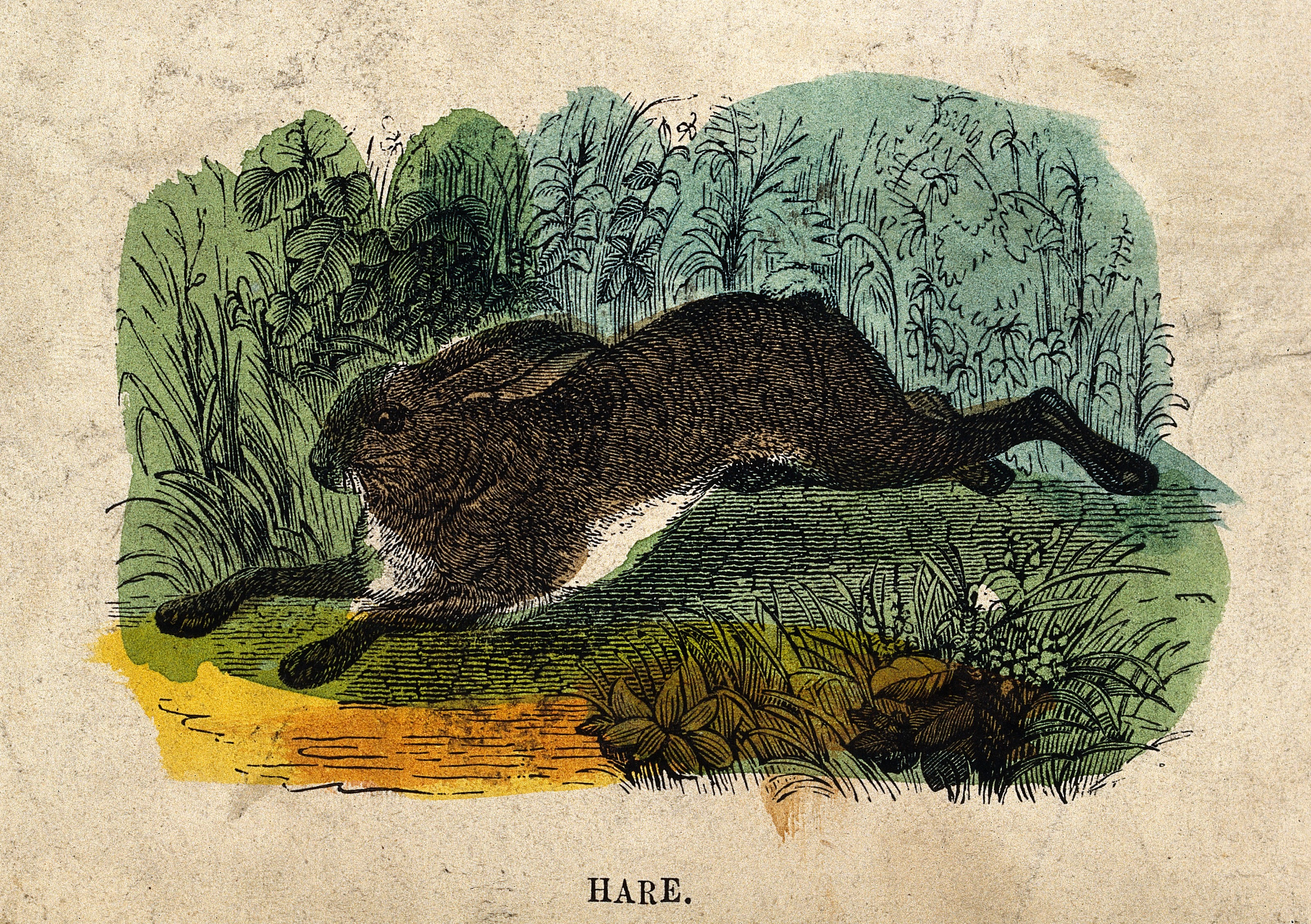 A hare. Coloured wood engraving. Wellcome V0021351