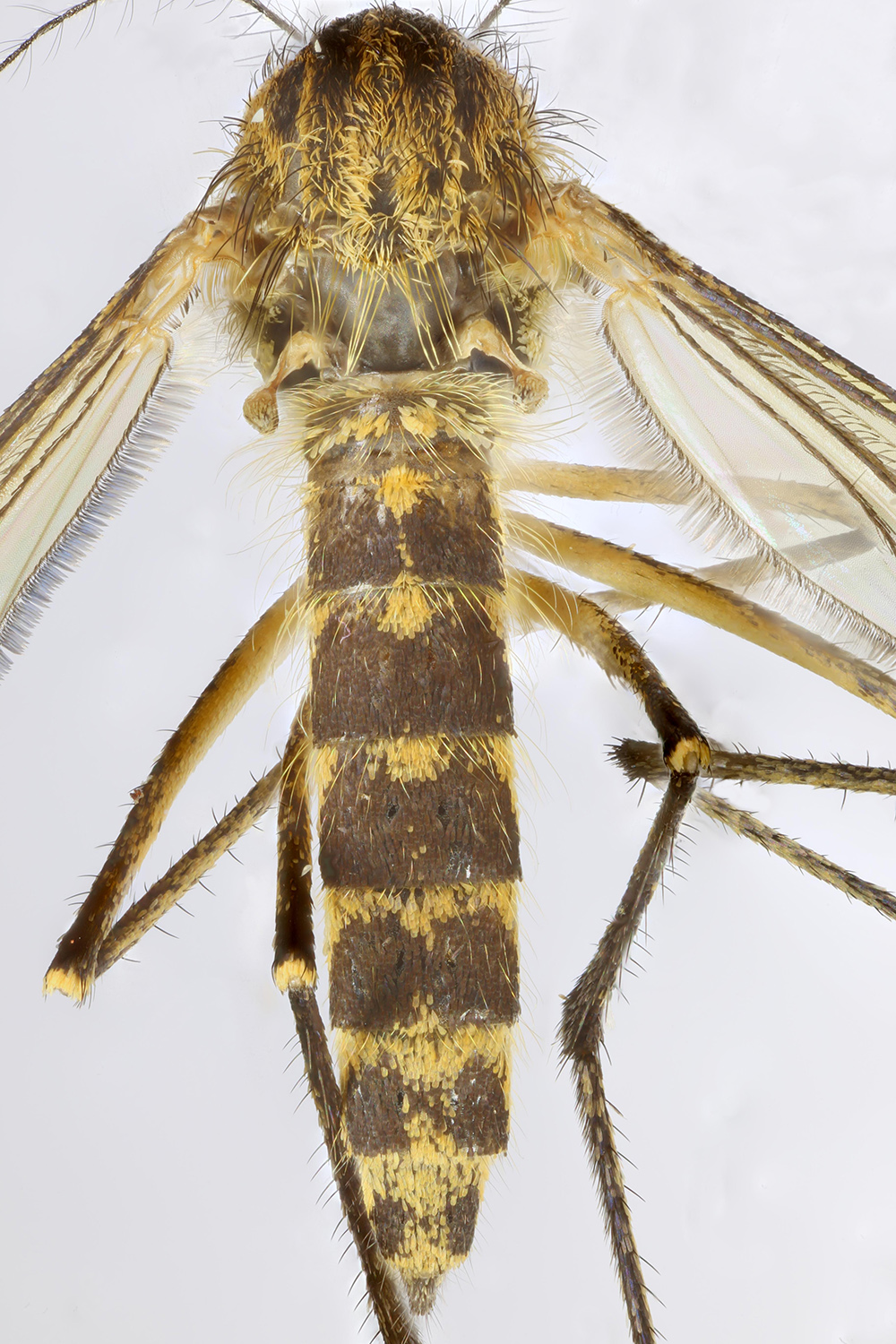 File:Aedes rusticus, Sontley, North Wales, May 2015 2 ...