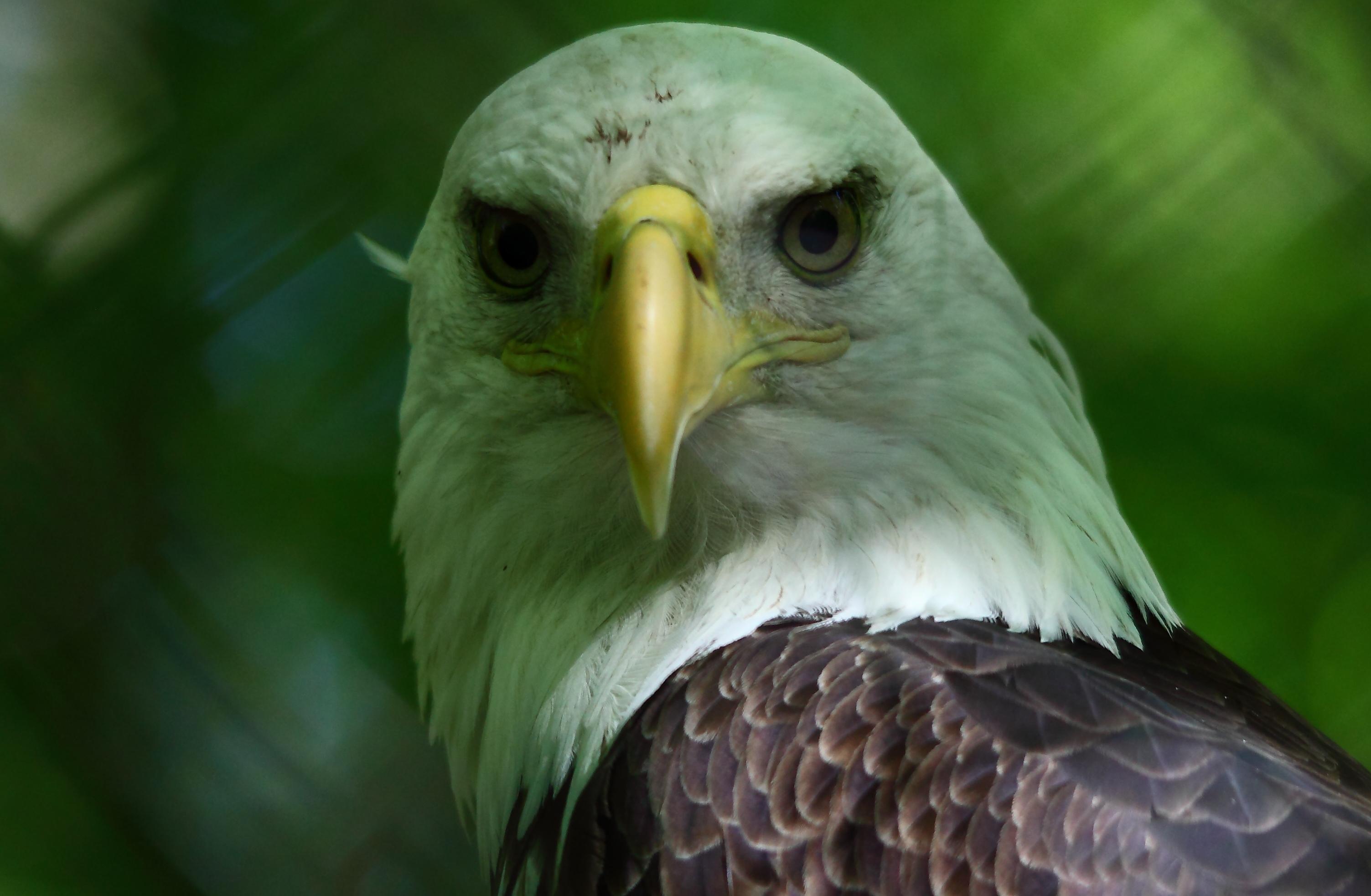 Description Bald-eagle-wildlife 23 - West Virginia - ForestWander.jpg