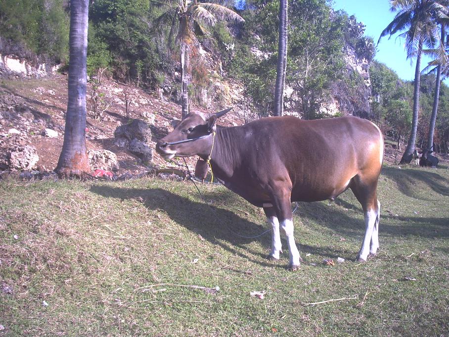 Bali Cattle