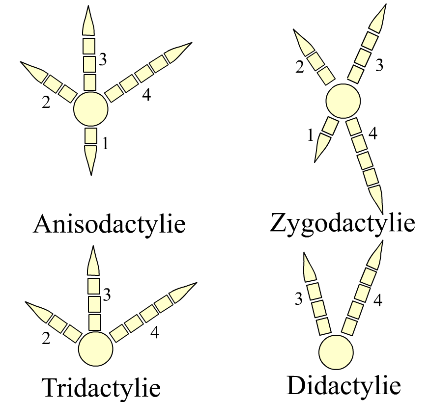 Bird feet - Simple English Wikipedia, the free encyclopedia