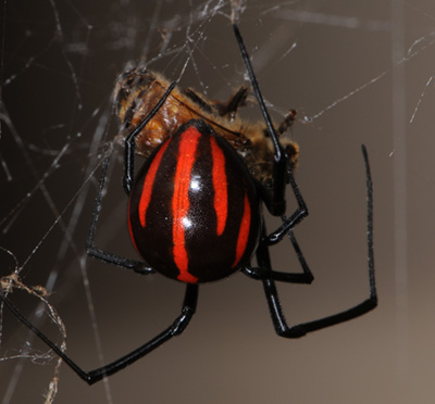 Image result for black widow eating mate