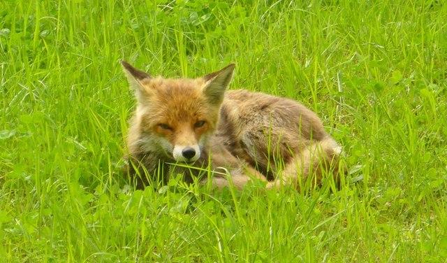Filebritzer Garten Fuchs Britz Garden Fox Geohlippde