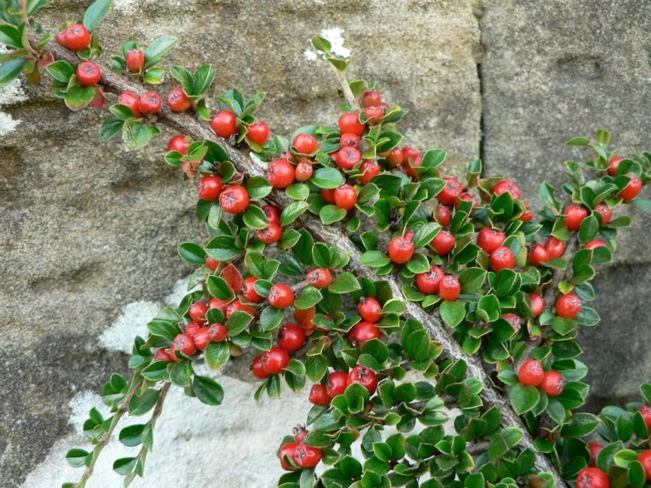 File Bush Branch With Red Berries Jpg Wikimedia Commons