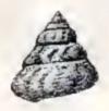 Calliostoma ocellatum 001.jpg