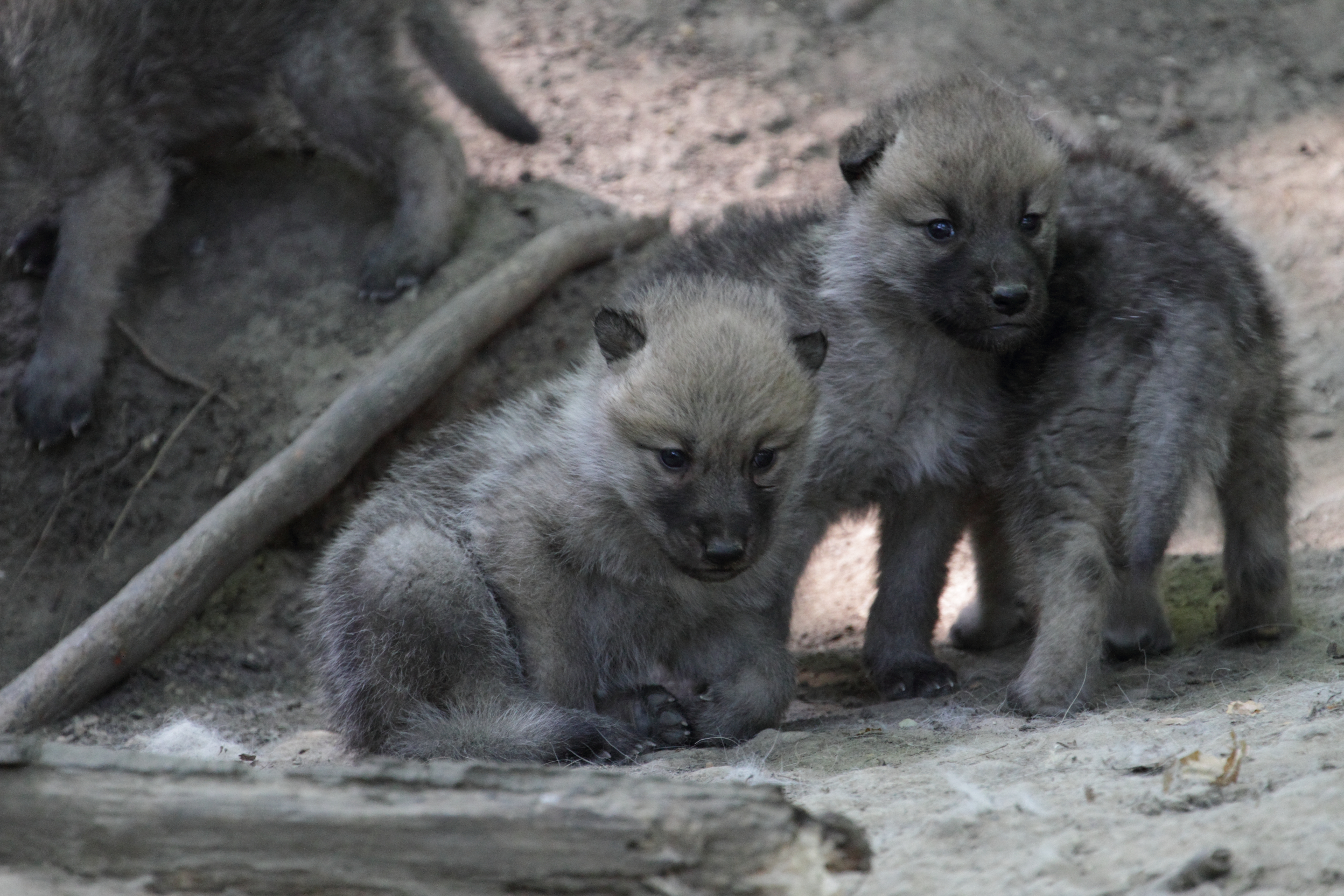 Young wolf puppies by their densite.