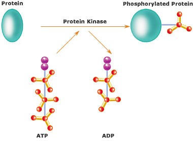 Protein Stucture and Function Ch4_kinases