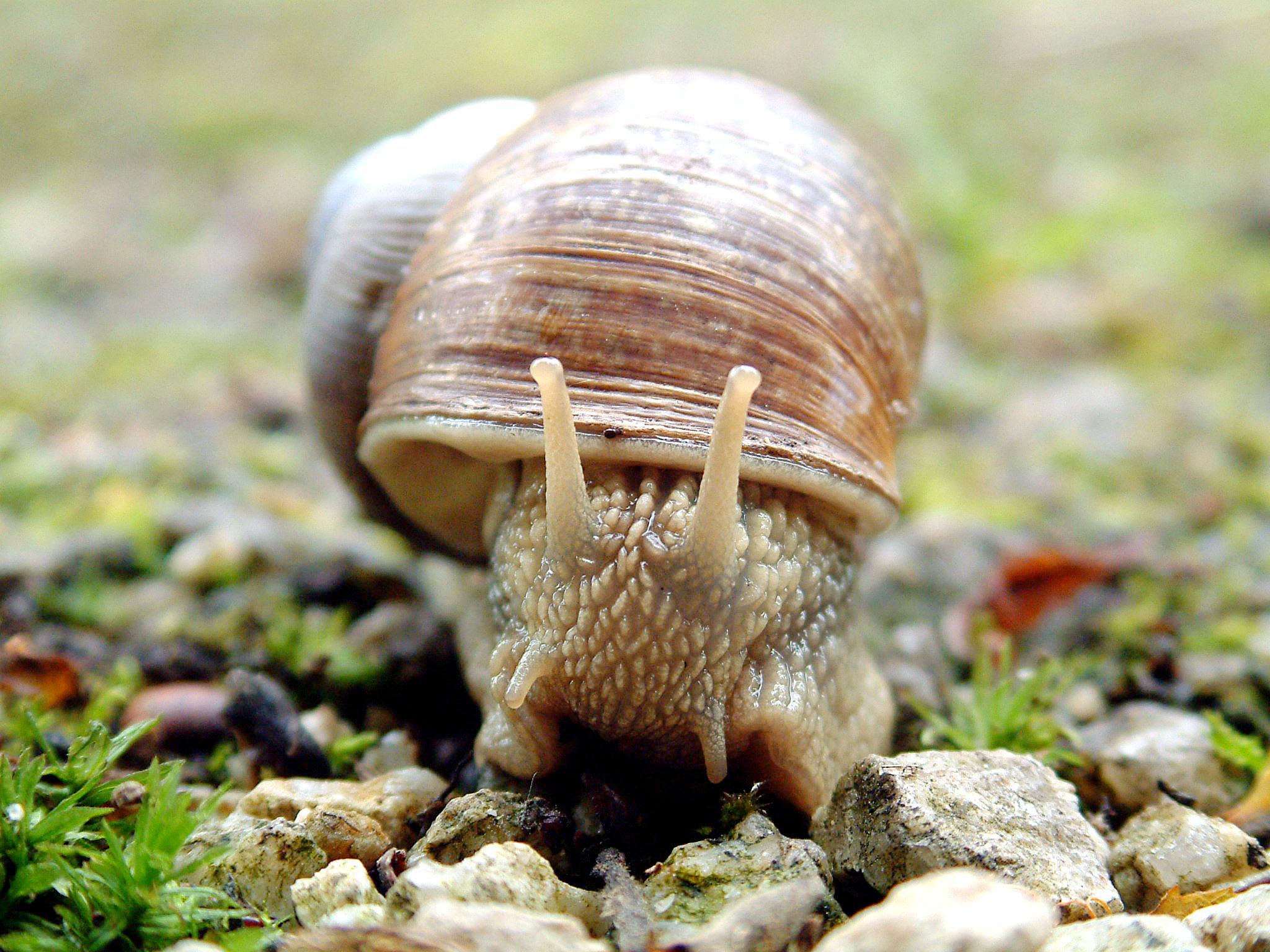 file closeup of snail in fishtank jpg wikimedia commons