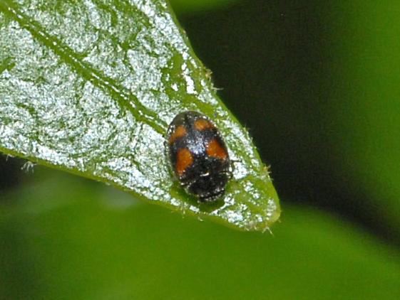 filecoccinellidae nephus quadrimaculatusjpg