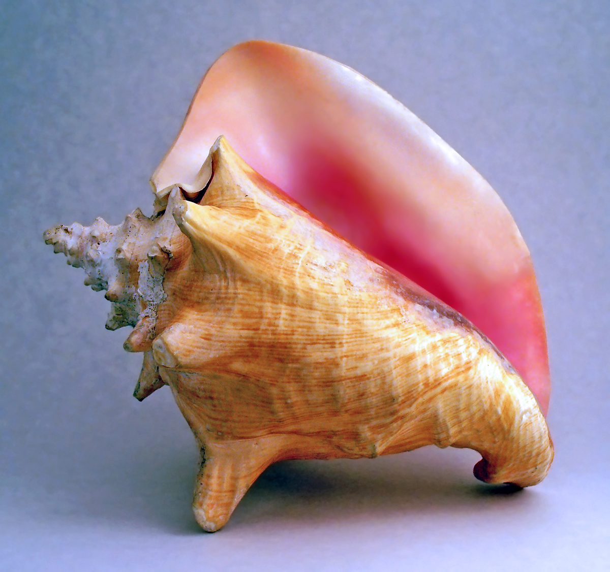 File:Conch shell 2.jpg - Wikipedia