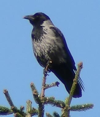 Corvus cornix (Scops).jpg