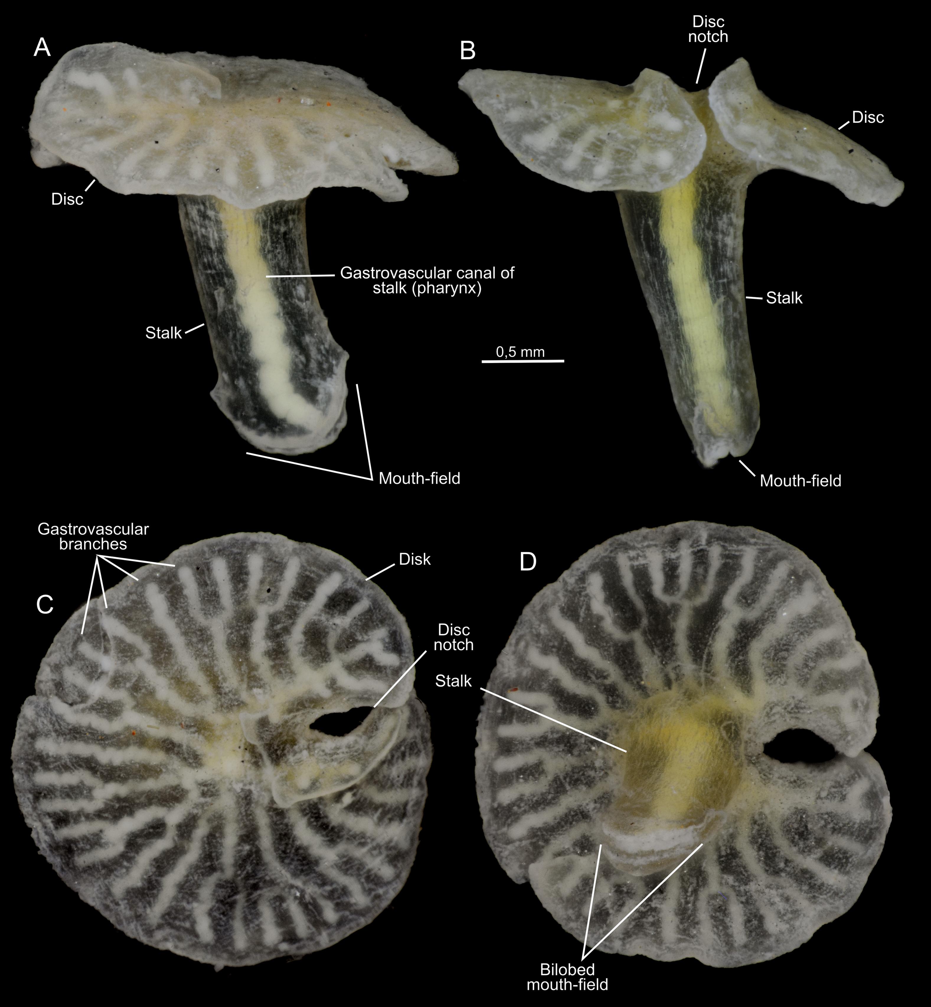 Dendrogramma enigmatica sp. nov., holotype.png