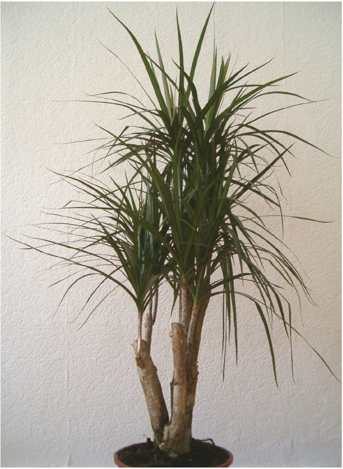 Herbplants dracaena marginata for Dracaena marginata
