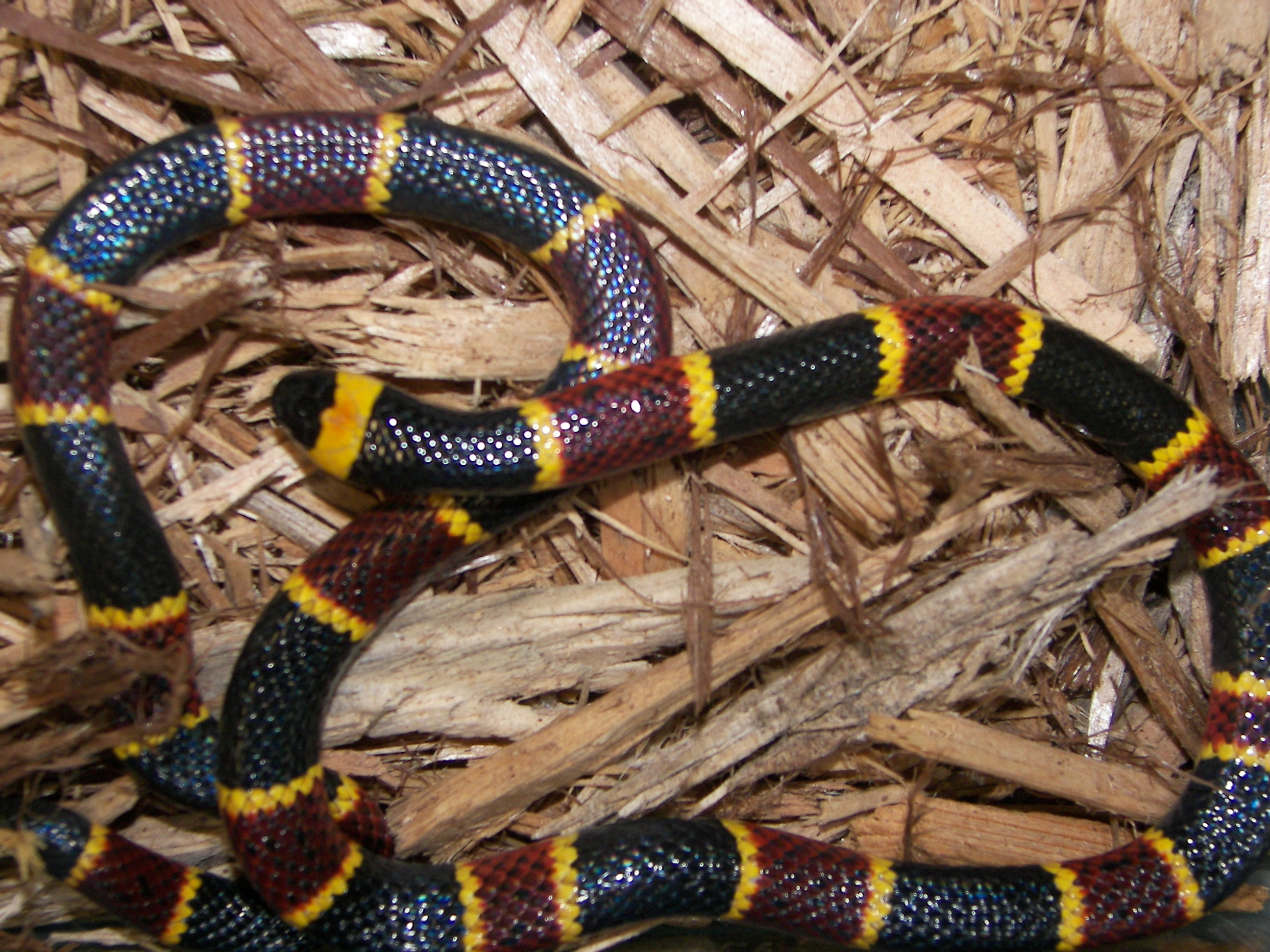Black Snake With Yellow Diamonds