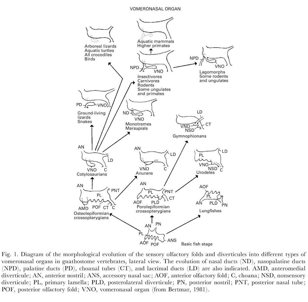 Fichier evolution morphologique de diff rents types d 39 organes vomeronasau - Differents types de ventilation ...