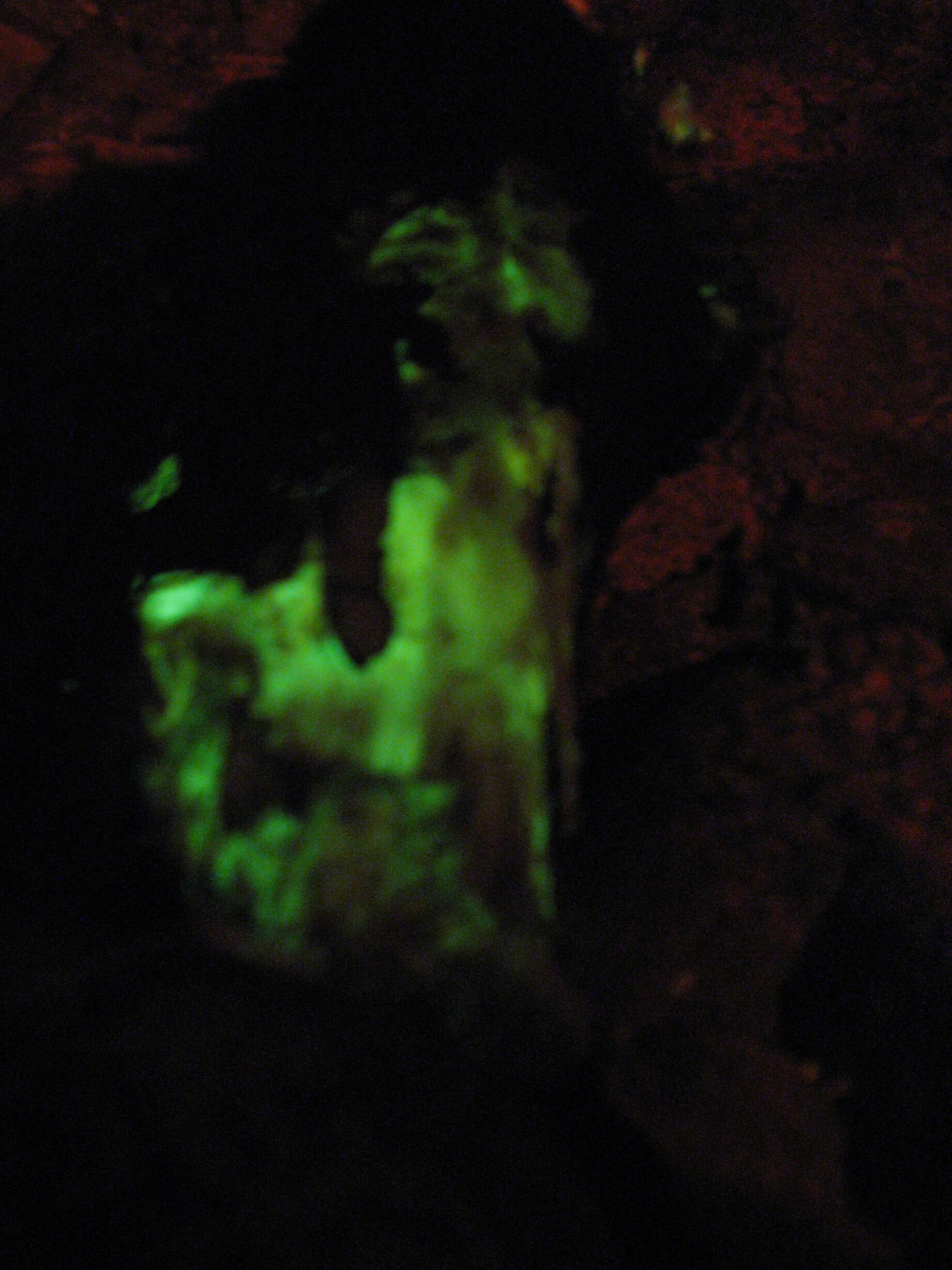 Foxfire fungus