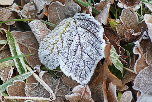 File:Frosted leaf - geograph.org.uk - 651482.jpg