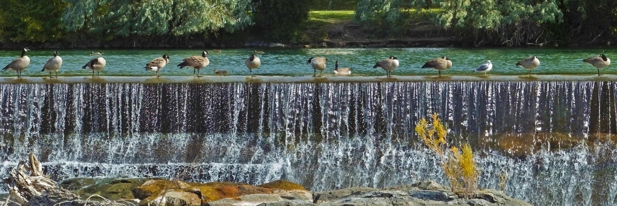File:Geese on falls wall Idaho Falls.jpg