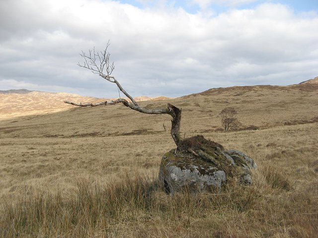 clinging to a boulder, but is no longer looking healthy. In the distance a mature alder is growing from an inaccessible bit of the Allt Dubh Dhoire Theàrnait