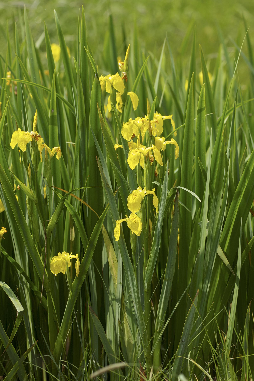 File:Iris pseudacorus LC0339.jpg - Wikimedia Commons
