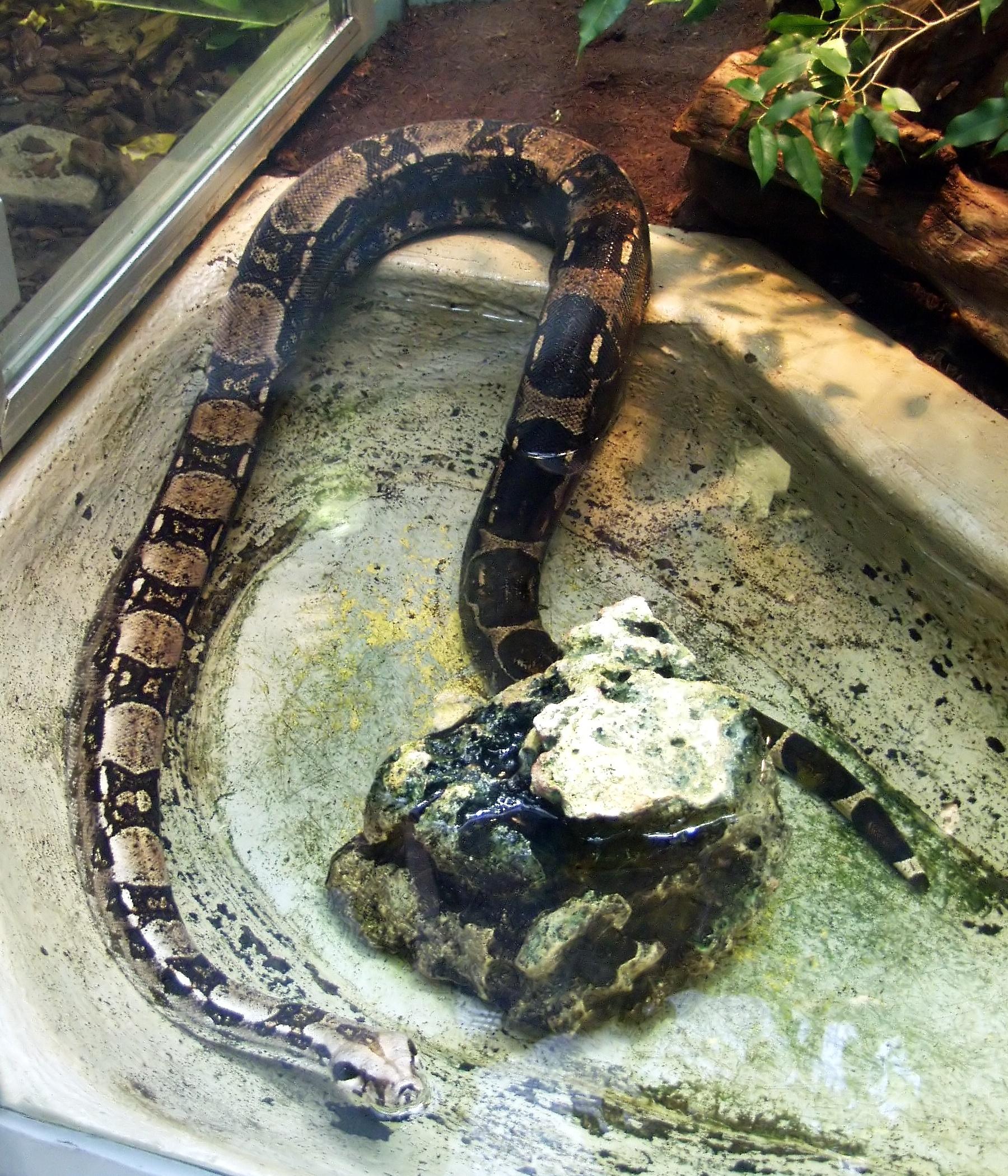 Boa Constrictor Pet a Boa Constrictor in a