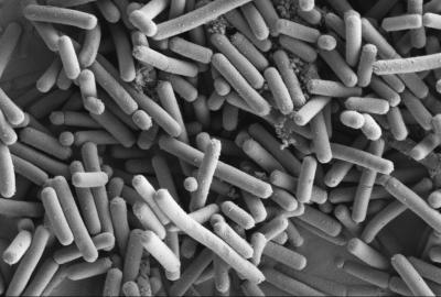 Lactobacillus johnsonii - Wikipedia