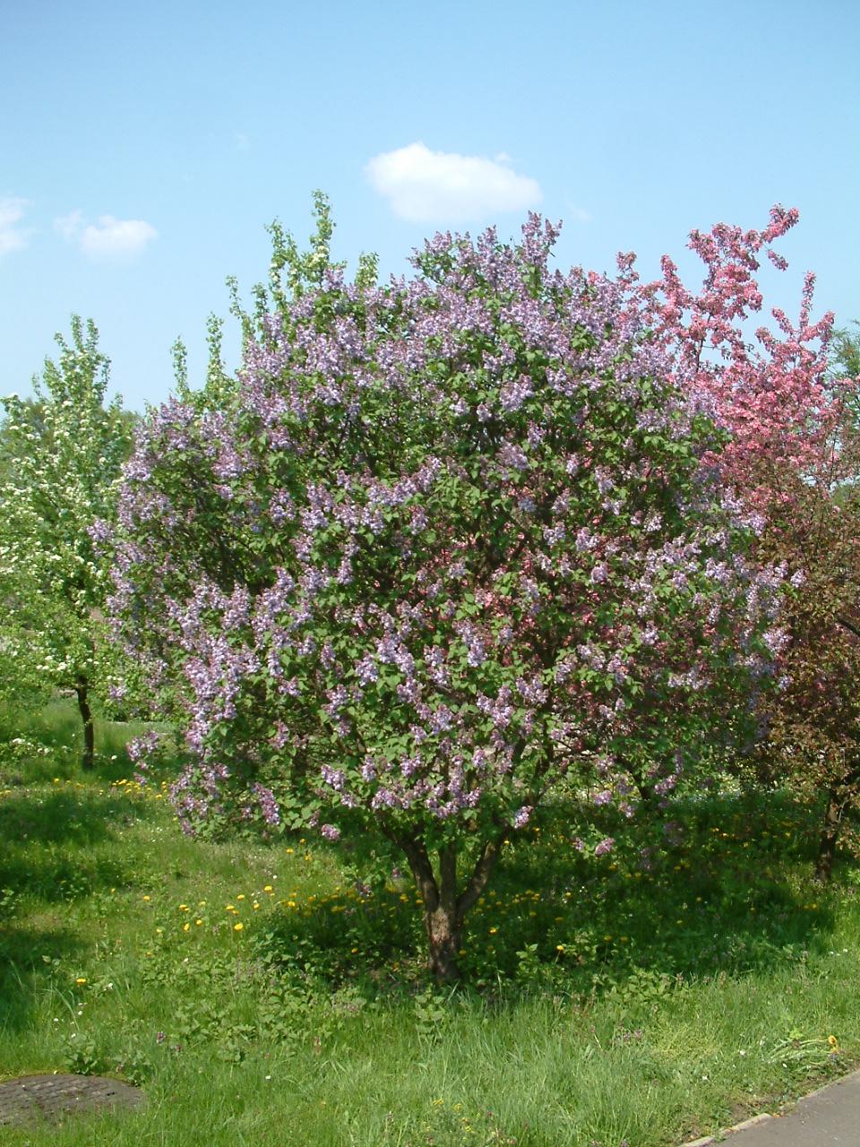 File lilak pospolity syringa vulgaris rb1 jpg - Syringa vulgaris ...