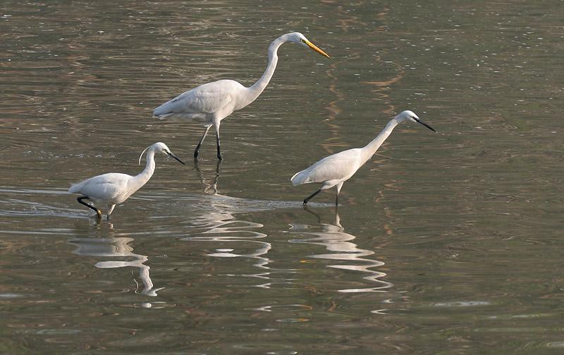 Grande aigrette dans le lagon Pantanal Brésil