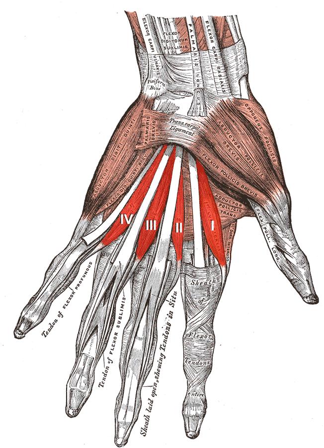 Músculos lumbricales de la mano - Wikiwand
