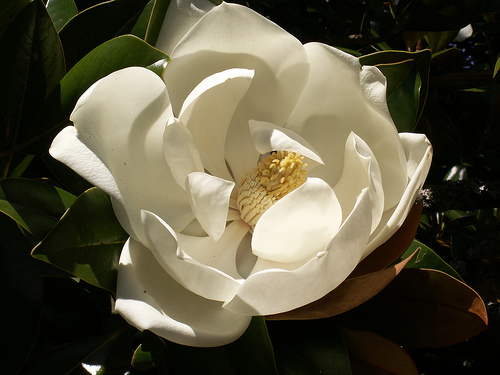 Depiction of Magnolia grandiflora