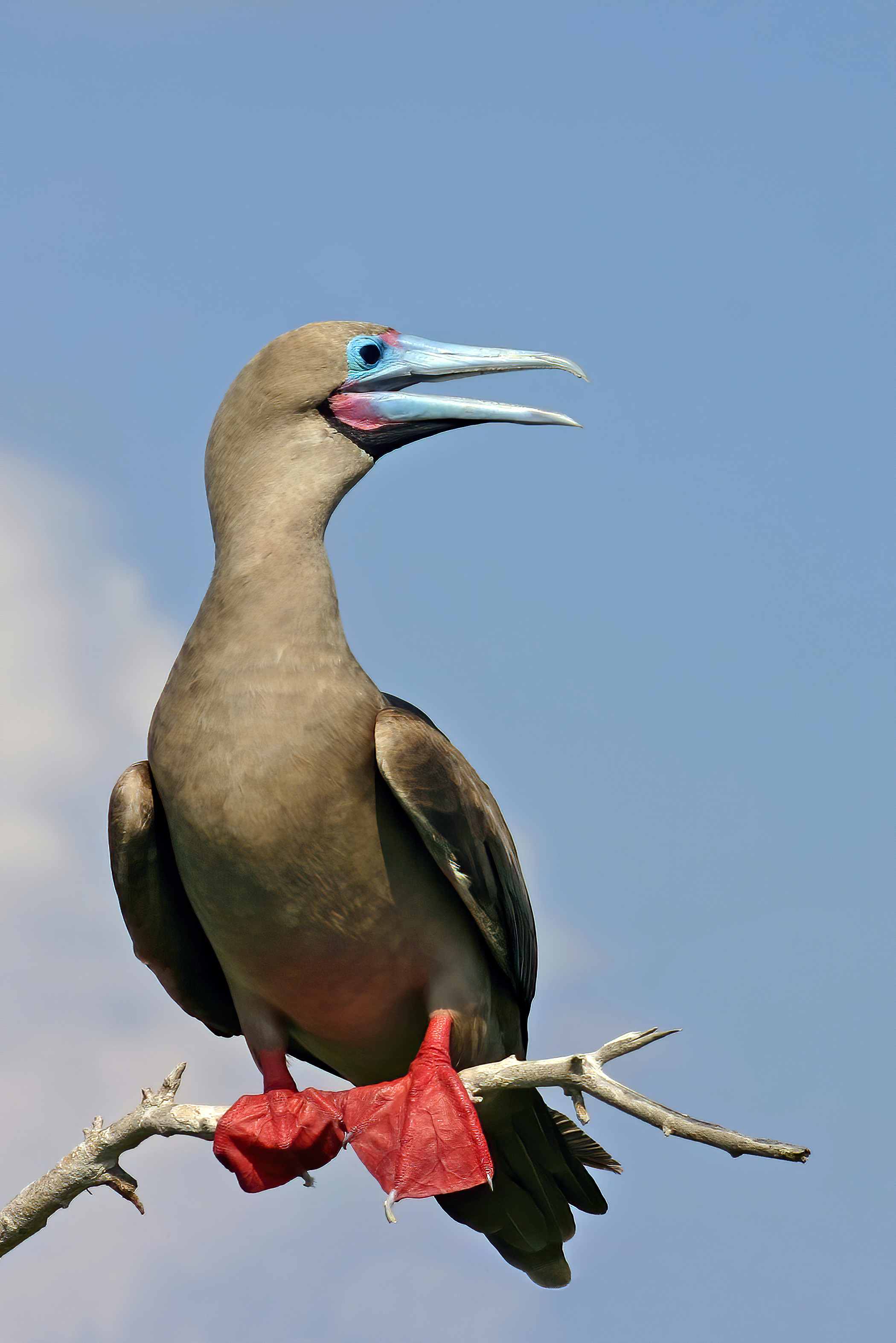 https://upload.wikimedia.org/wikipedia/commons/f/f9/Male_Gal%C3%A1pagos_red-footed_booby.jpg