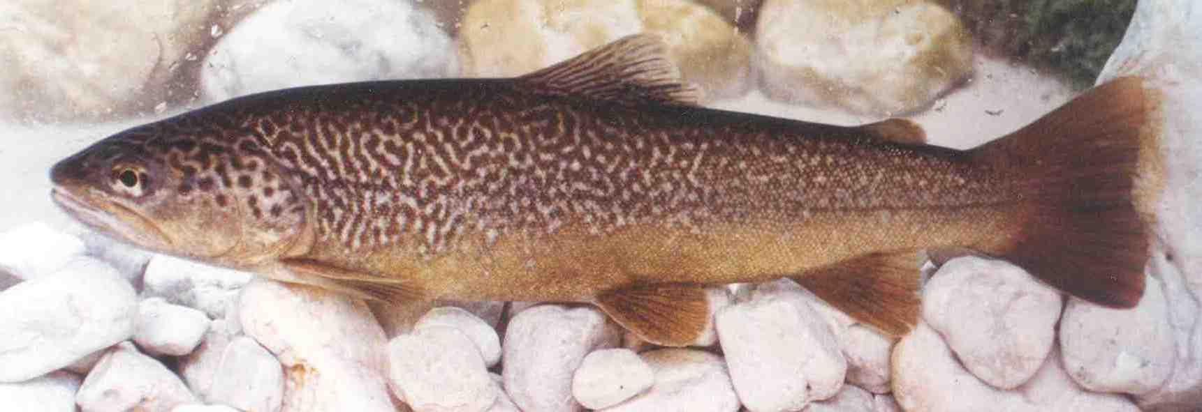Zeta trout
