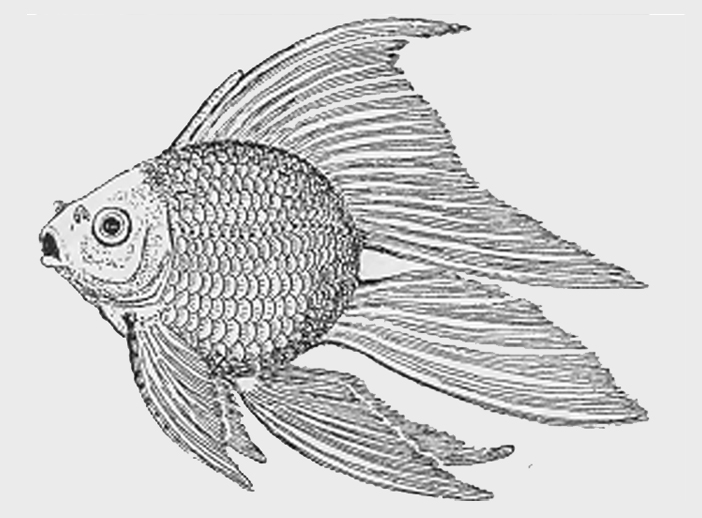 Meteor Goldfish Wikipedia