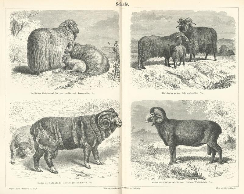 List Of Sheep Breeds Wikipedia