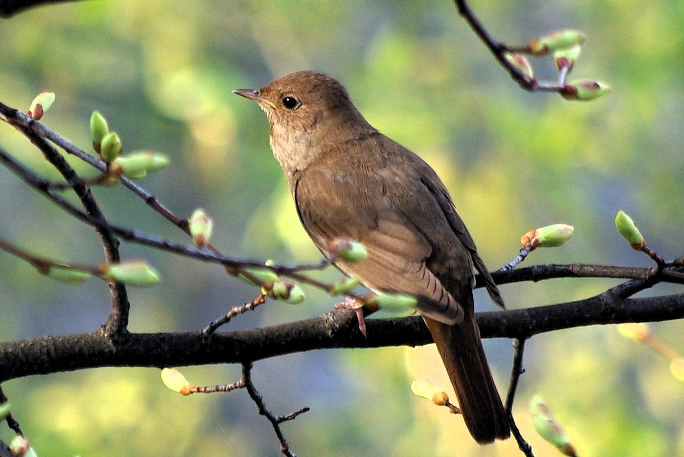 Thrush Night... First Nightingale