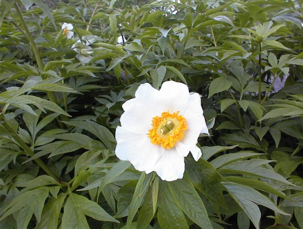 paeonia emodi wikimedia commons