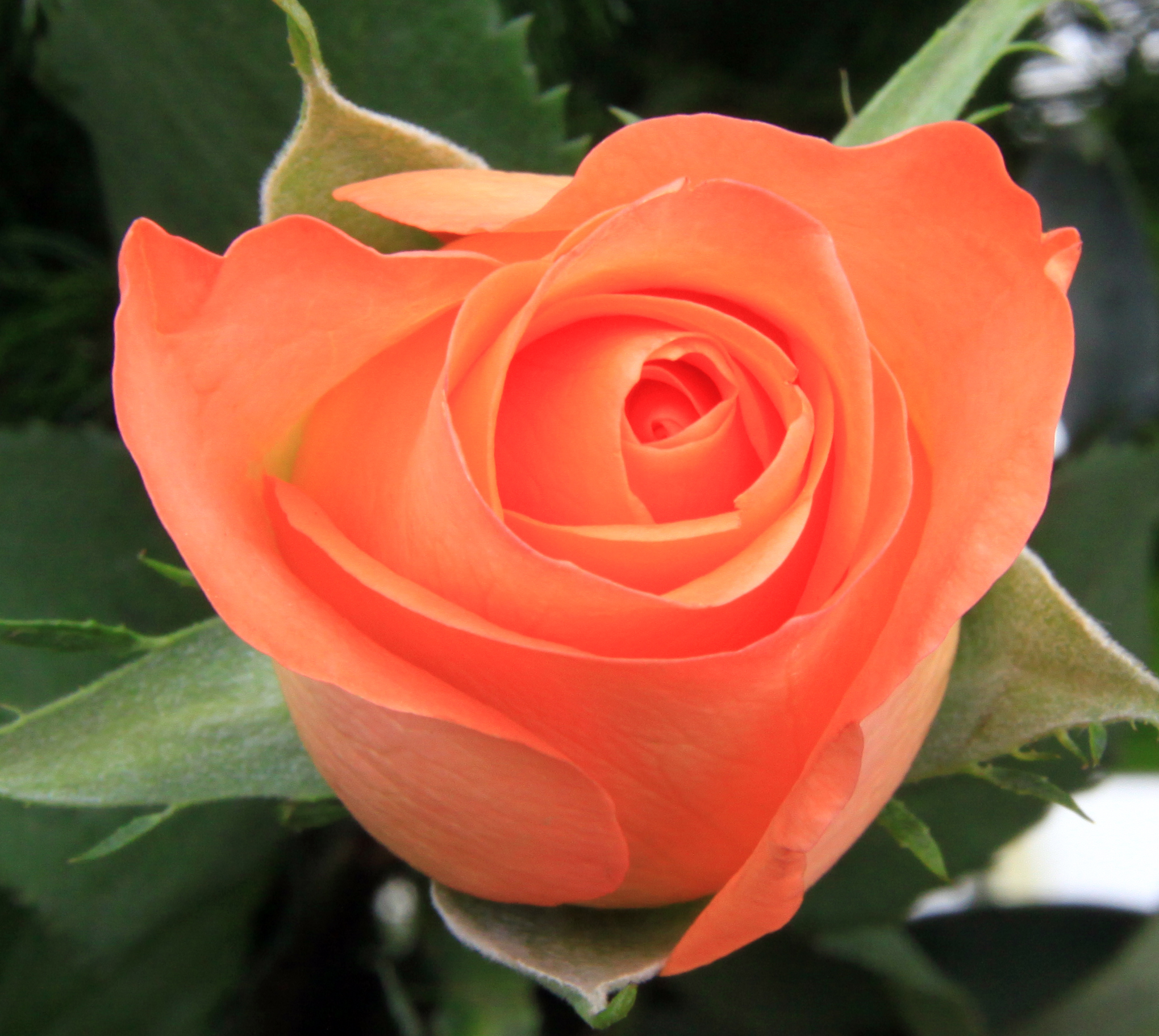 Description Peach Rose 1 (3351774506).jpg