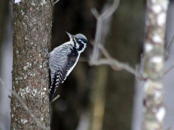 Soubor:Picoides tridactylus (Armandas Naudžius).jpg