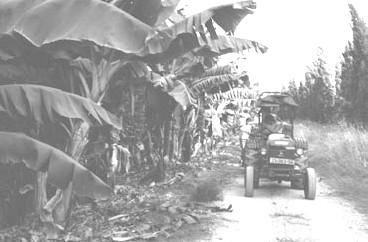 ענף הבננות