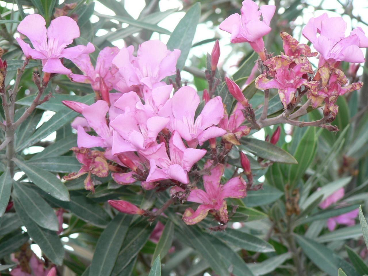 File Pink Flower Bush Jpg