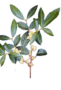 Muira puama — Wikipédia