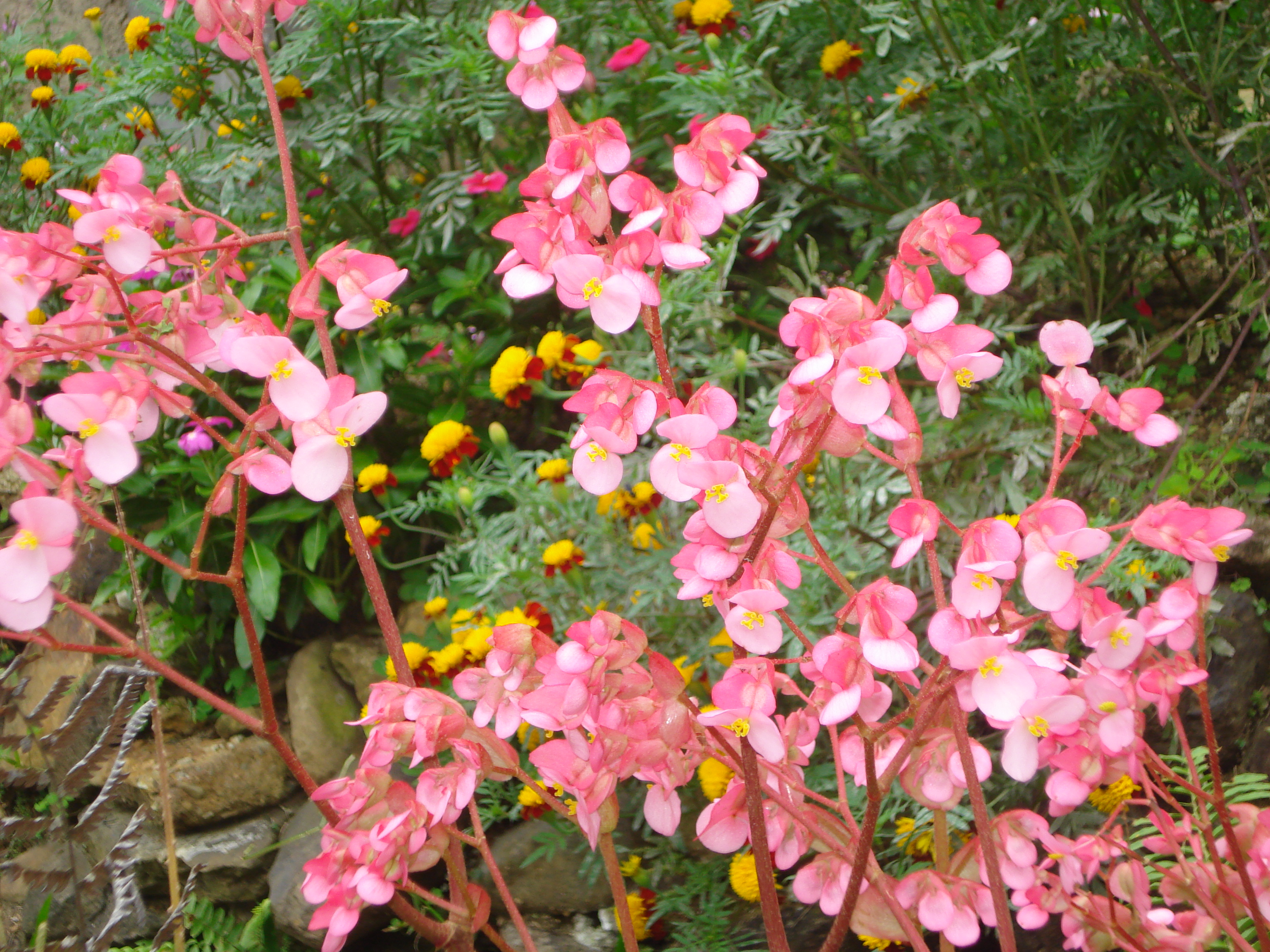 Description Plantas con flores rosadas.JPG