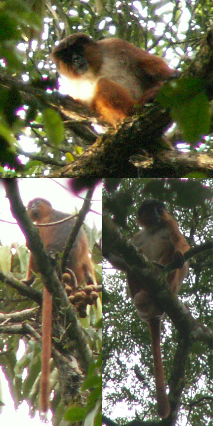 The average litter size of a Preuss's red colobus is 1