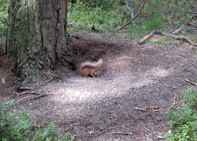 Red Squirrel - geograph.org.uk - 33099