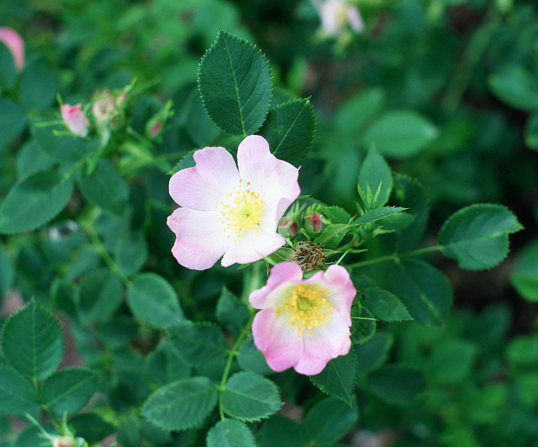 Rosa blanda - Wikipedia